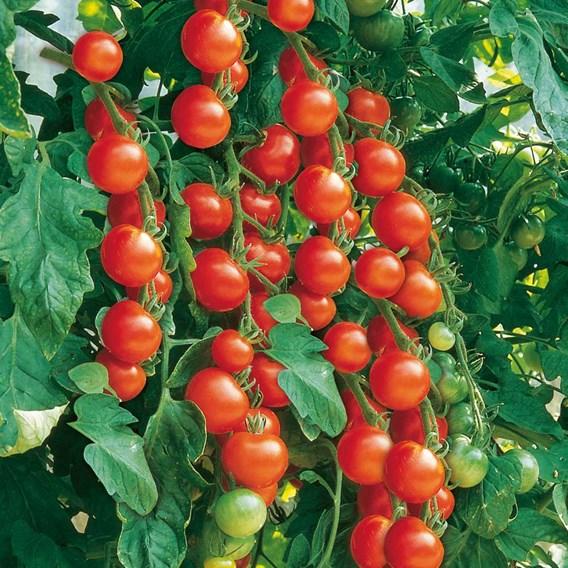 Grafted Tomato Plant - Gardener's Delight