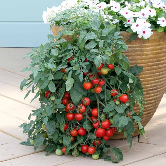 Tomato Seeds - Tumbling Tom Red