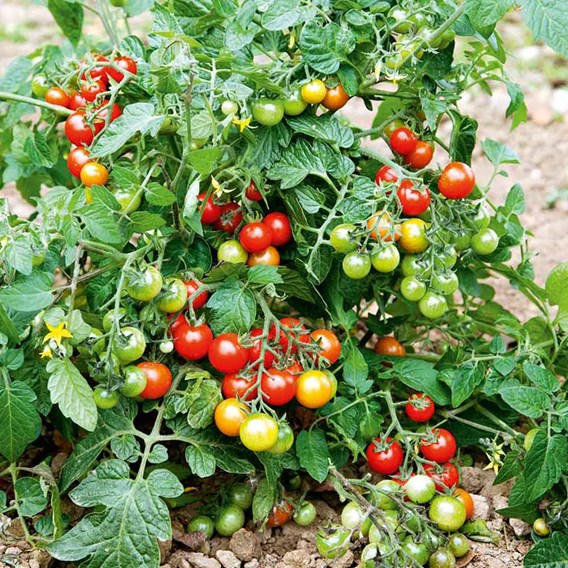 Tomato Seeds - F1 Lizzano