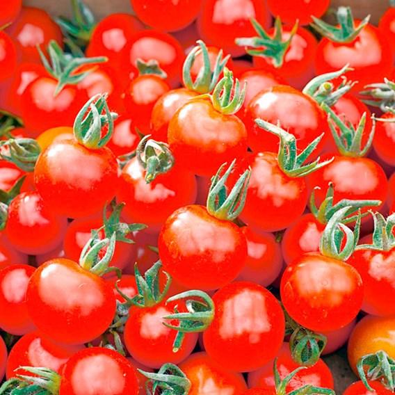 Tomato Plants Our Selection - 3x9cm