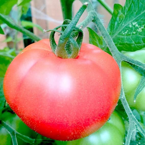 Tomato Seeds - Heinz 1370