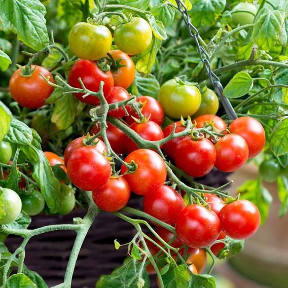 Tomato Seeds - F1 Tumbling Bella (Terenzo F1)