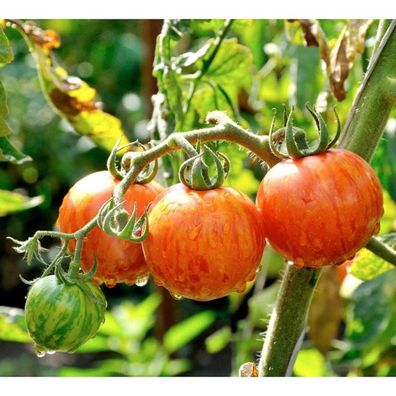 Tomato Seeds - Red Zebra