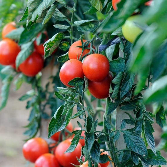 Tomato Grafted Plants - Premio