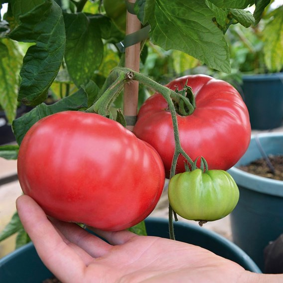 Grafted Tomato Plant - F1 Crimson Blush