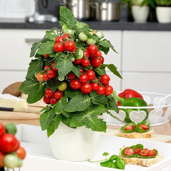 Tomato Ponchi-Fa (1) P12
