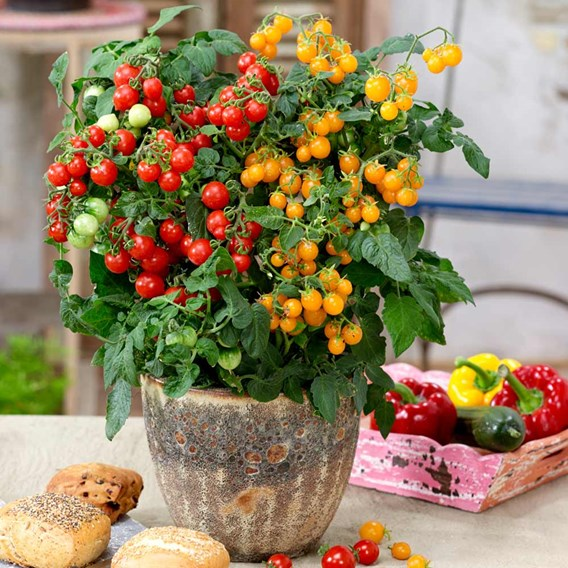 Tomato Plant - Sweet & Sturdy
