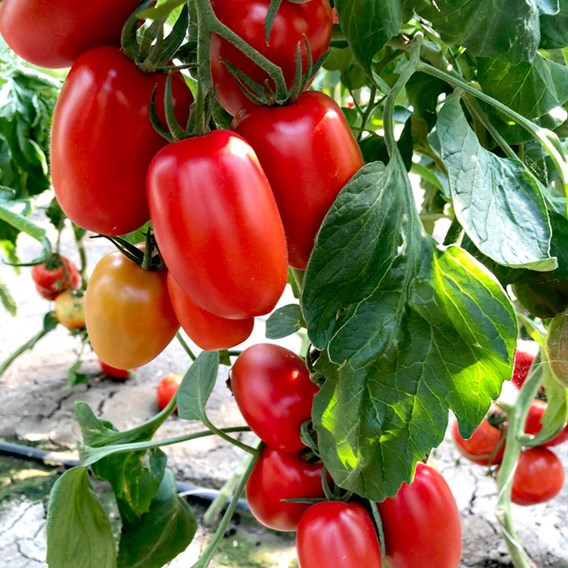 Tomato Seeds - Crimson Plum F1