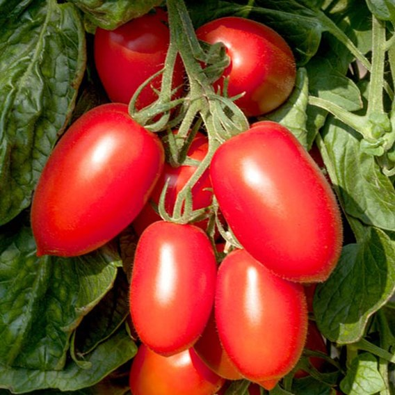 Grafted Tomato Plant - Crimson Plum