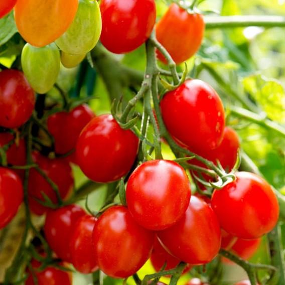 Tomato Seeds - Romello F1