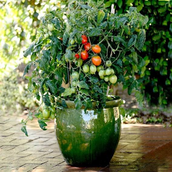Tomato Patio Veg Plant - Little Pompeii