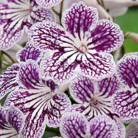 Streptocarpus Polka Dot Purple