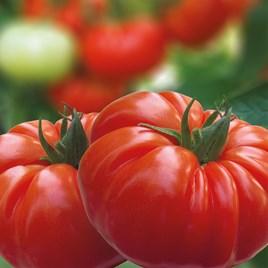 Grafted Tomato Plant - F1 Buffalosteak