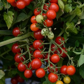 Tomato Plants - Candyland Red