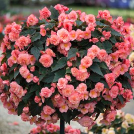Begonia Sweet Spice English Rose (6)