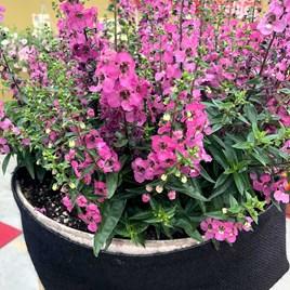 Angelonia Plants - Serena Rose