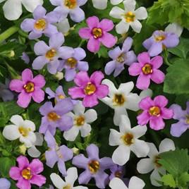 Bacopa Plants - Topia Mixed