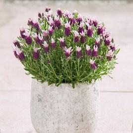 Lavender Plants - Bandera Pink