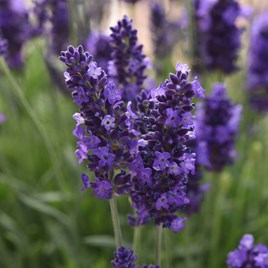 Lavender Blue Spear (10)