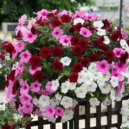 Petunia Plants - Sweetheart Mixed
