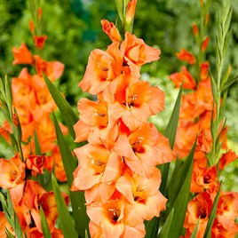 Gladioli Corms Peter Pears (12)