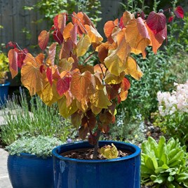 Cercis Eternal Flame