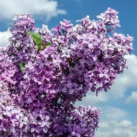 Lilac (Syringa) Saugeana