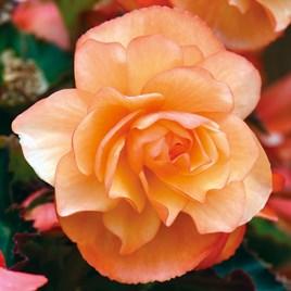 Begonia Plants - Fragrant Falls Apricot