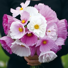 Cosmos Plants - Cupcakes and Saucers Mix