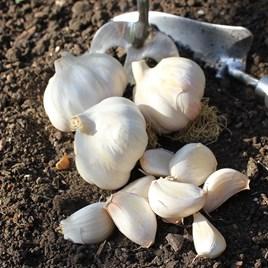 Garlic Bulbs - Carcossonne Wight