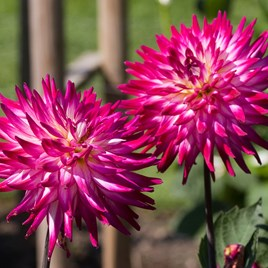 Dahlia Badger Twinkle Pack 3