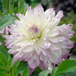 Dahlia Ferncliff Illusion (Giant Tree Dahlias)