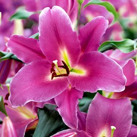 Lily Blue Wonder 5 Bulbs