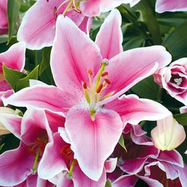 Lily Defender Pink 5 Bulbs