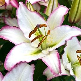 Lily Purple Fountain 5 Bulbs