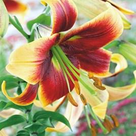 Lily Tree Debby 1 Ziro 3 Bulbs Size 16/20