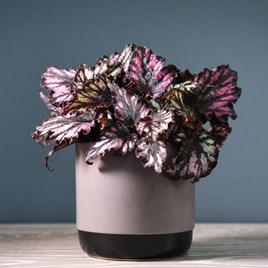 Begonia Rex-HybridHelen Teupel 12cm Pot x 1