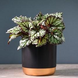 Begonia Rex-Hybrid Kings Spirit 12cm Pot x 1