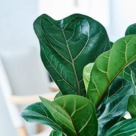 Ficus lyrata Compacta