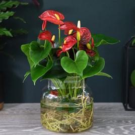 Anthurium Aqua Red in Sierglass 14cm Pot x 1