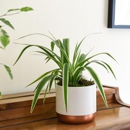 Chlorophytum (Spider Plant) Comosum Variegatum