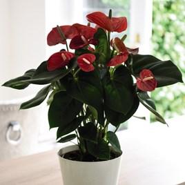 Anthurium andreaeanum