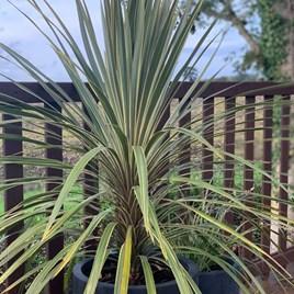 Cordyline Torbay Dazzler - 7.5 Litre Pot