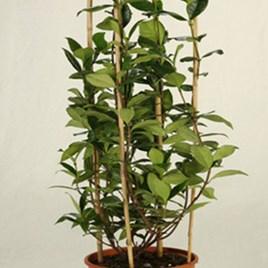 Trachelospermum jasminoides Double Arch 80/100cm - 28cm Pot