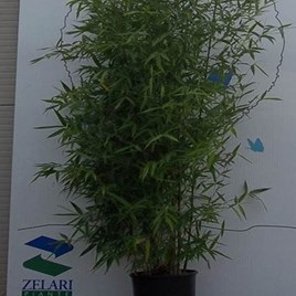 Phyllostachys Bissetti 100/150 - 10 Litre Pot
