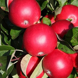 Apple (Malus) Scrumptious (MM106) 12L Pot x 1