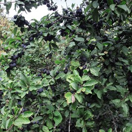 Prunus spinosa 2 litre Pot x 1