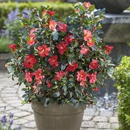 Camellia 1001 Summer Nights Jasmine - 15cm(1.6ltr)