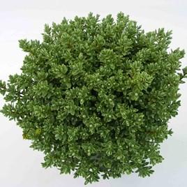 Hebe Pinguifolia Pagei - 1.5 Litre Pot