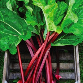 Rhubarb (Rheum) Raspberry Red 3L Pot x 1